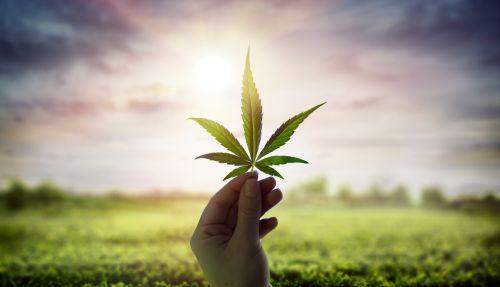 marijuana plant products